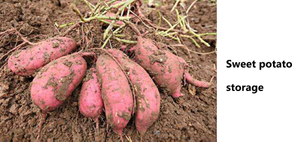 Chemistry and life – why is the sweet potato placed longer and sweeter?